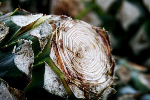 Lange Spachtel Agavenblätter zu schneiden